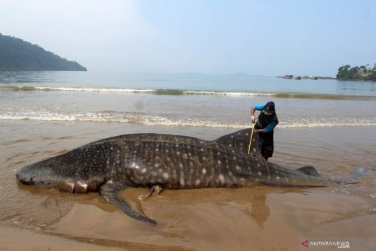 Seekor Hiu Paus terdampar di pantai Teluk Betung
