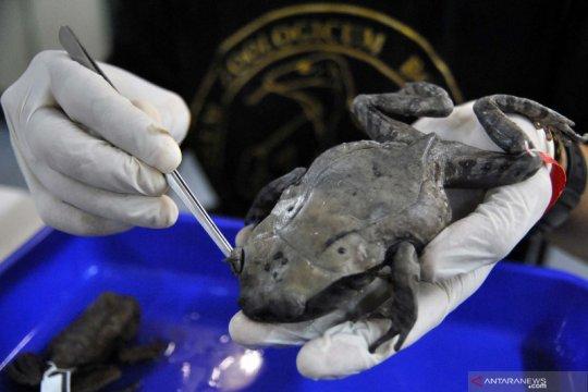 LIPI temukan spesies baru katak Kalimantan