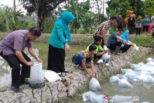 Disperpa Kota Magelang tebar bibit nila di areal demplot mina padi