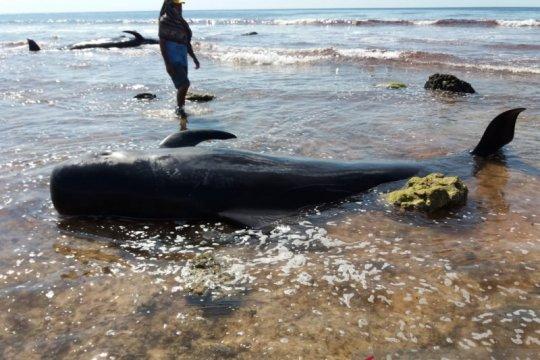 Satu ekor paus terdampar dipotong warga