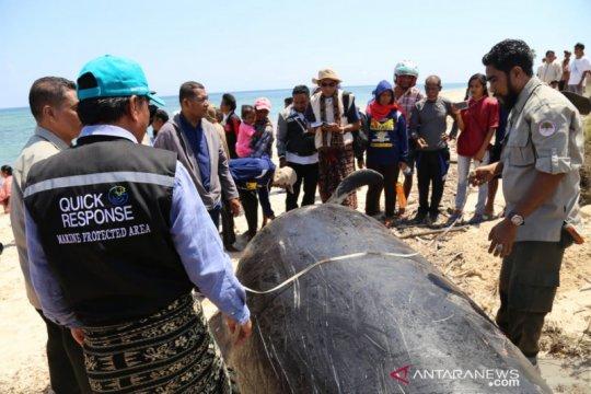 BKKPN : ada cara kurang tepat dalam memindahkan paus pilot ke laut