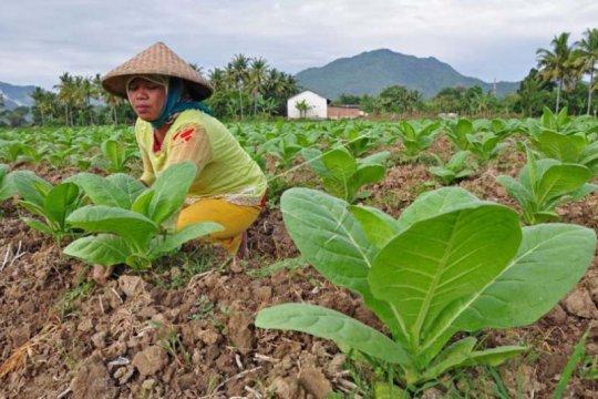 Pengamat sebut sejumlah risiko yang perlu diwaspadai petani tembakau