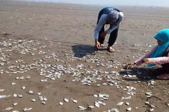 DLH Cilacap tegaskan kematian ribuan ikan bukan karena pencemaran