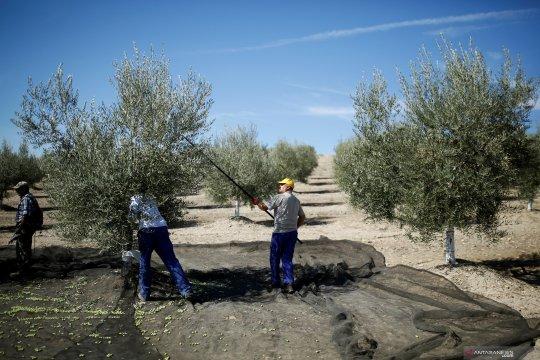 Menengok perkebunan zaitun di selatan Spanyol
