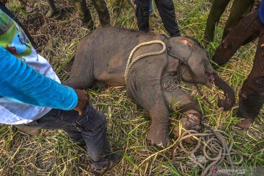 Anak gajah Sumatera terkena jerat pemburu