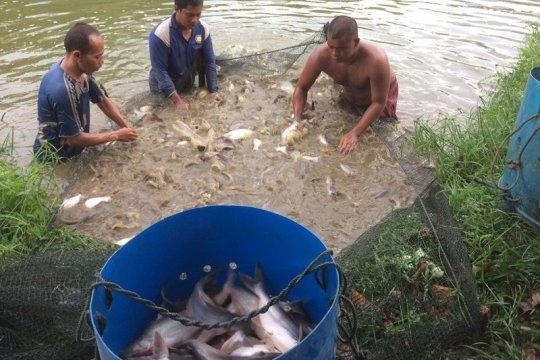 Ikan patin hasil budidaya UMKM Kampar rambah pasar China