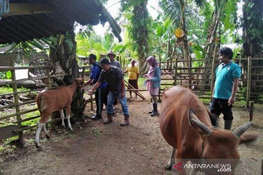 Atasi penyakit Jembrana, Mukomuko galakkan vaksin sapi