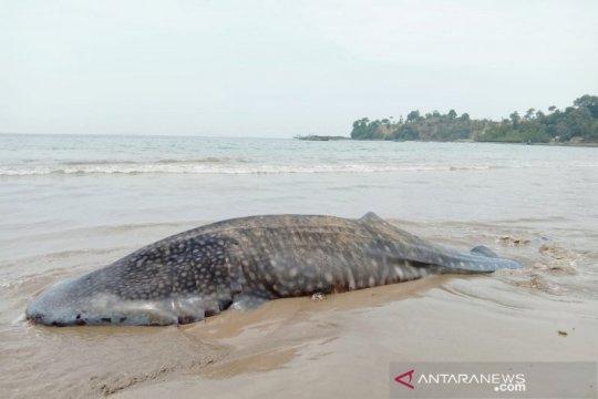 Akademisi kelautan ungkap penyebab paus terdampar
