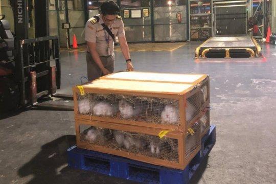 Ekspor kelinci hias melalui Karantina Pertanian Soetta naik 73 persen