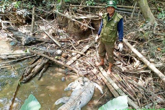Buaya makin banyak berkeliaran di Sungai Mentaya Kalteng