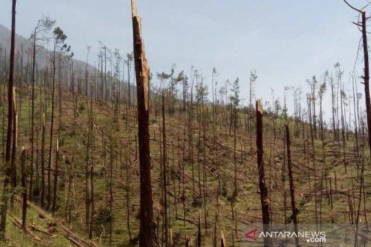 Angin kencang, ribuan pohon pinus Gunung Merbabu patah dan tumbang
