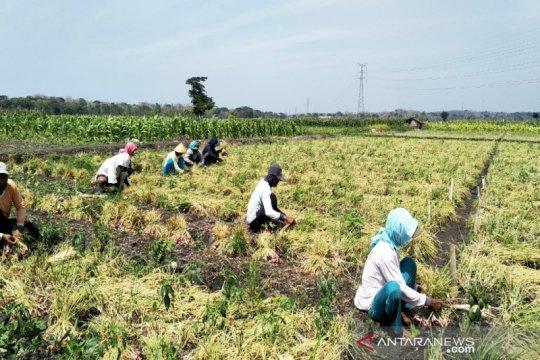 Petani bawang merah di Kulon Progo panen raya