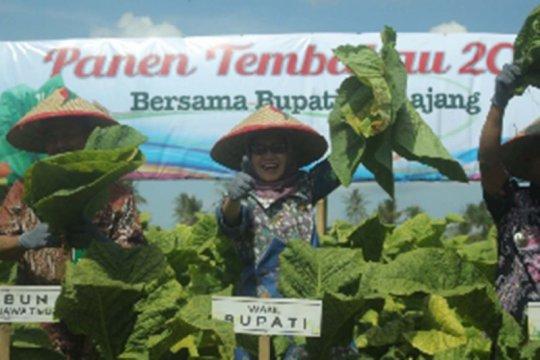 Pemkab Lumajang fasilitasi petani jaga kualitas dan pemasaran tembakau