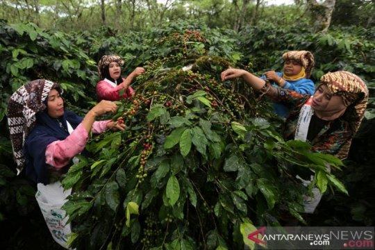 Distanbun Aceh pastikan kopi arabica Gayo masih organik