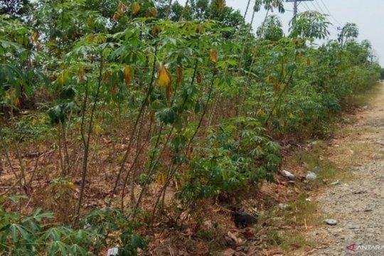 Harga singkong di Mesuji Provinsi Lampung turun