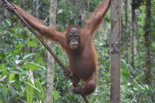 Tiga orangutan dilepasliarkan lagi di Taman Nasional Betung Kerihun