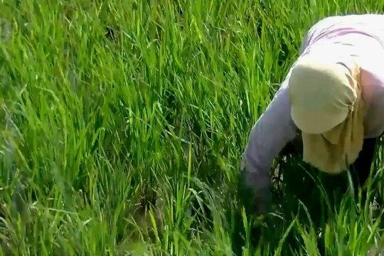 Cadangan beras aman, meski musim tanam mundur