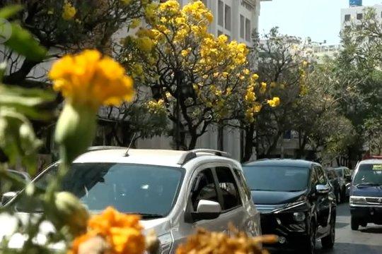 Meronanya bunga tabebuya di tepi Jalan Braga