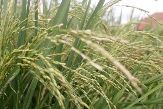 Kekeringan tak pengaruhi produktivitas petani NTB