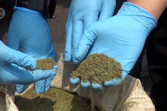 Ternyata daun kratom belum masuk UU Narkotika