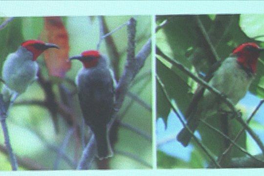 Myzomela Prawiradilagae, spesies burung baru asal Alor