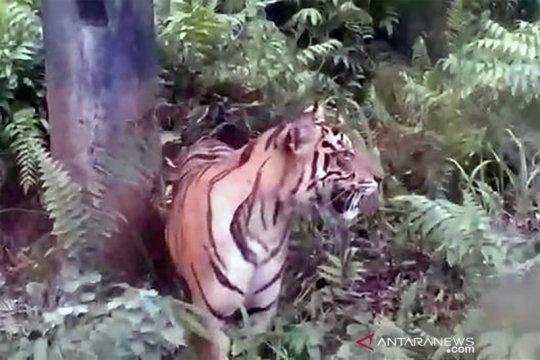 Harimau sumatera berkeliaran dekat fasilitas minyak di Siak Riau