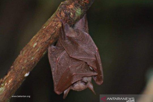 Kelelawar lidah panjang ditemukan di Pulau Curiak Kalsel