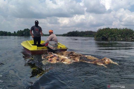Evakuasi bangkai babi di Danau Siombak
