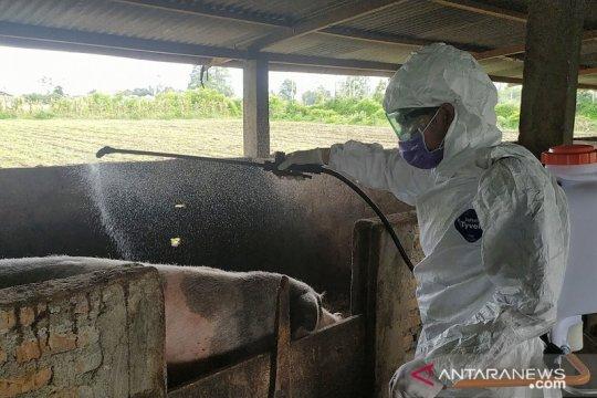 Distribusi ternak babi di Kabupaten Karo diperketat