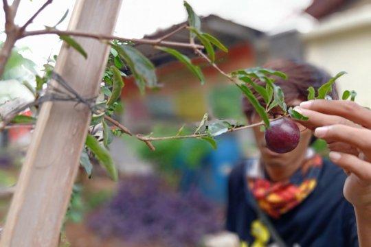 Tanaman langka khas Betawi tumbuh di RPTRA Rawa Bunga