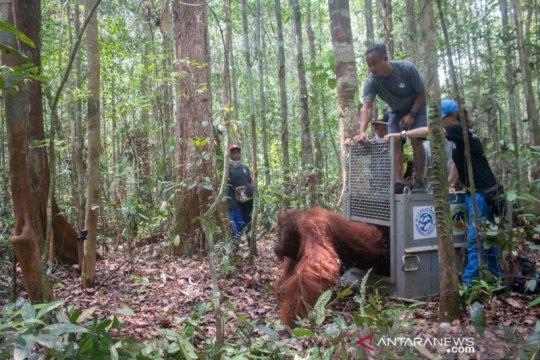 BKSDA-IAR Indonesia lepasliarkan satu orang utan