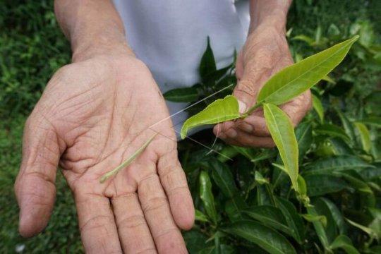 Produksi teh organik Page 2 Small