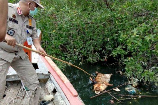 Puluhan ekor babi mati mendadak di Padangsidimpuan