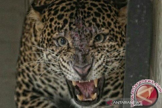 Macan tutul terkam petani hingga tewas di Sumsel