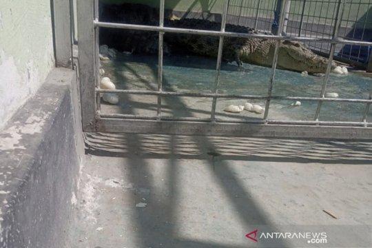 Seekor buaya bertelur 70 butir di tempat penangkaran BBKSDA