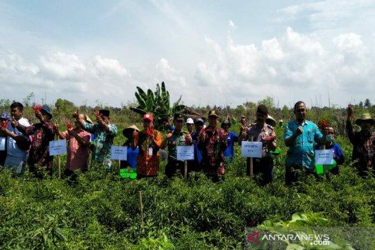 Petani lahan pantai di Kulon Progo panen cabai
