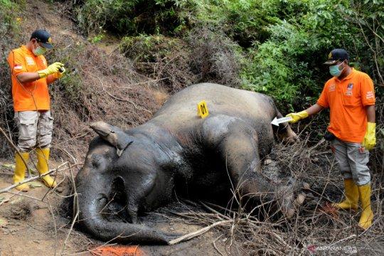 Gajah Sumatra ditemukan mati di area perkebunan sawit