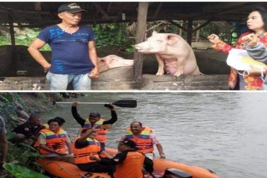 Belasan bangkai babi ditemukan di parit Kelurahan Damar Sari Tebing Tinggi