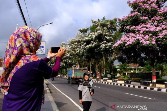 Tabebuya bermekaran di Kota Magelang jadi ajang swafoto warga