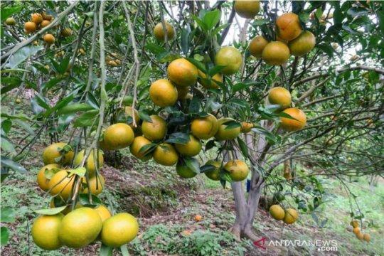 Jeruk gerga jadi komoditas unggulan Bengkulu