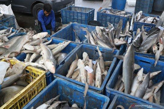 Tangkapan ikan hiu di TPI Karangsong