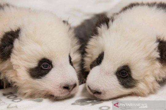 Bayi panda kembar di Kebun Binatang Berlin