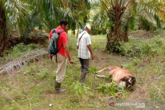 80 sapi mati mengenaskan akibat kekeringan di NTT