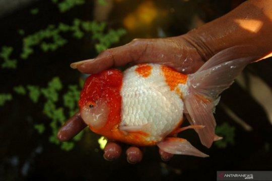 KKP optimalkan peran pusat pengembangan ikan hias Cibinong