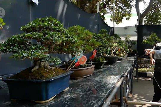 Dongkrak harga jual bonsai melalui kontes