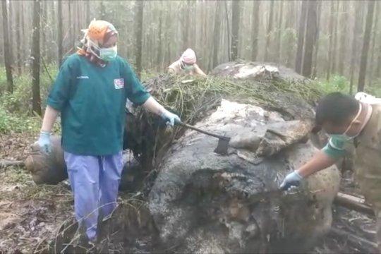 Gajah mati di konsesi Arara Abadi Riau korban perburuan gading