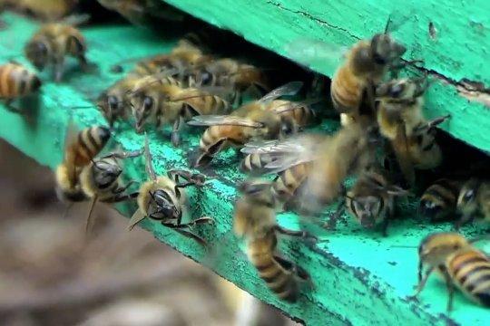 Budi daya lebah madu di hutan karet Alas Roban