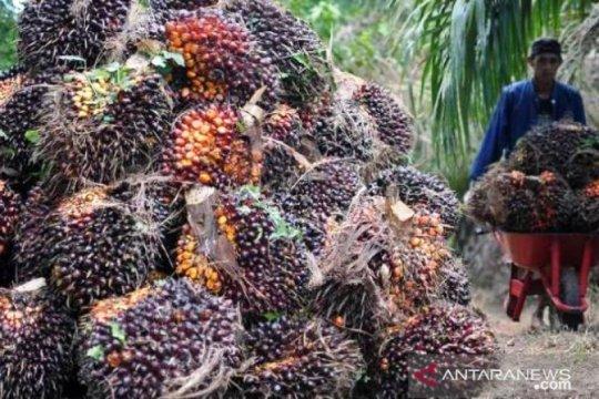 Harga sawit Riau turun Rp77,48 per kg