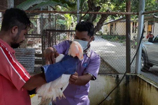 BKSDA Maluku terima satwa liar endemik