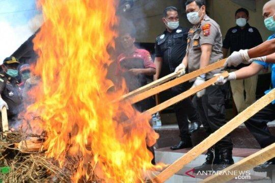 Polres Padangsidimpuan musnahkan 20 kilogram ganja